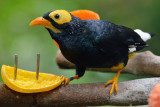 Yellow-Faced Myna (3)