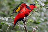 Black-capped Lory (3)