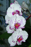 Moth Orchid (3)