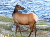 Cow Elk 02.jpg