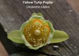 Yellow Tulip Tree.jpg