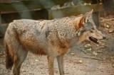 Red Wolf 01.jpg