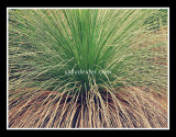 native grass tree