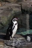 Humboldt Penguin in His New Home