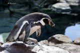 Warm Water Penguin