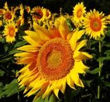 Grinter  Sunflower Farms