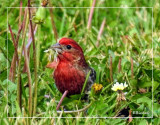 House Finch 2016