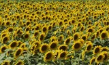 Riot of Sunflowers