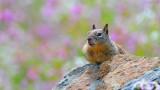 Ground Squirrel sunning