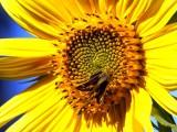Skipper sipping sunflower