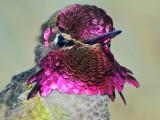 Gorget- Anna's Hummingbird