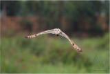 Birds in Flight, Owls