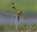 Bee Eaters, Blue Tailed (Merops philippinus)
