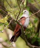 Brahminy Kite  ( Haliastur indus )