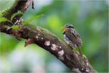 Spotted Wood-Kingfisher (female)