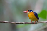 Variable Dwarf Kingfisher