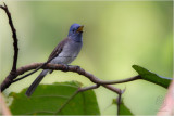 Monarch, Black-naped (female) (Hypothymis azurea)
