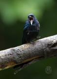 Drongo, Balicassiao (Dicrurus balicassius)