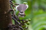 Fantail, Pied (Rhipidura javanica)