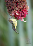 Luzon Sunbird (Aethopyga jeffreyi)