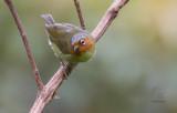 Chestnut-faced Babbler (Stachynis whiteheadi)