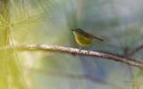Warbler, Negros Leaf (Phylloscopus nigrorum)