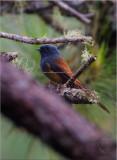 Fantail, Blue-Headed (Rhipidura cyaniceps)