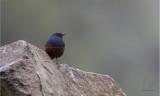 Water-Redstart, Luzon (Rhyacornis bicolor)