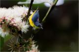 Flowerpecker, Orange-bellied (Dicaeum trigonostigma)
