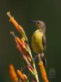 Olive-Backed Sunbird (female) (Nectarinia jugalaris)<i/)