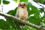 Spotted Wood-Owl (imm) (Strix seloputo)