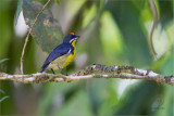 Flowerpecker, Palawan