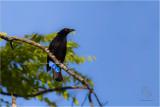 Bluebird, Asian Fairy ( Irena puella)