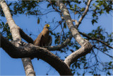 Philippine Serpent-Eagle (Spilornis holospilus)