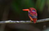 Kingfisher, Northern Philippine Dwarf ( Ceyx melanurus)