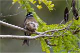 Whiskered Treeswift (Hemiprocne comata)