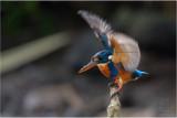 Northern Indigo-banded Kingfisher (Alcedo cyanopectus)