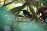 White-browed Shama (Copsyhus luzoniensis)
