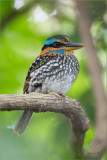 Spotted Wood Kingfisher (male)