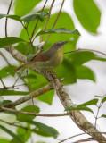 Babbler, Pin-Striped Tit (Macronous gularis)
