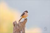 Mountain Shrike (Lanius validirostris)
