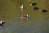 Duck, Spot-billed (Anas poecilorhyncha)