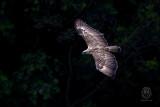 Eagle, Philippine (Pithecophaga jefferyi)