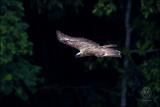 Philippine Eagle (Pithecophaga jefferyi)