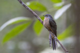 Cuckoo, Brush (Cacomantis variolosus)