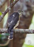 Chinese Goshawk (imm) (Accipiter soloensis)