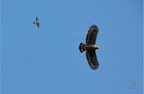 Philippine Serpent-Eagle ( Spilornis holospilus)