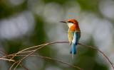 Blue Throated Bee-eater (Merops viridis)