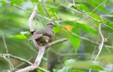 Dove, White-eared Brown  (Plapitreron leucotis)