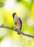 Red-keeled Flowerpecker Dicaeum australe